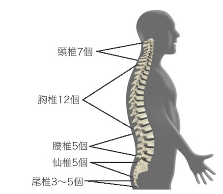 背骨を構成する椎骨の分類